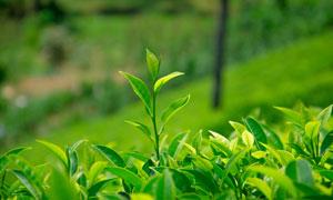 斜坡上的茶叶微距特写摄影高清图片