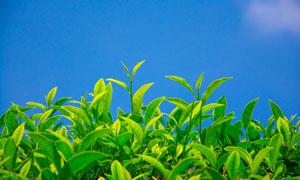 蔚蓝天空背景绿色茶叶摄影高清图片