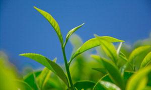 蓝色天空与绿色的茶叶摄影高清图片