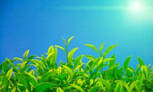 阳光下的嫩绿茶叶特写摄影高清图片