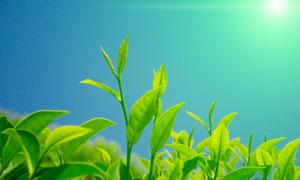 阳光下的茶叶微距逆光摄影高清图片