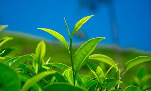 嫩绿色的茶叶植物微距摄影高清图片