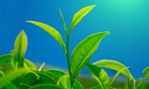 带着嫩芽的嫩绿色茶叶摄影高清图片