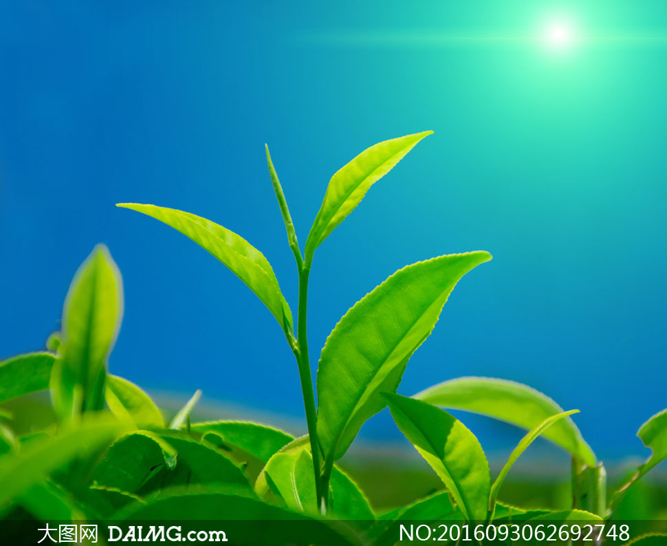 带着嫩芽的嫩绿色茶叶摄影高清图片 - 大图网设计素材图片