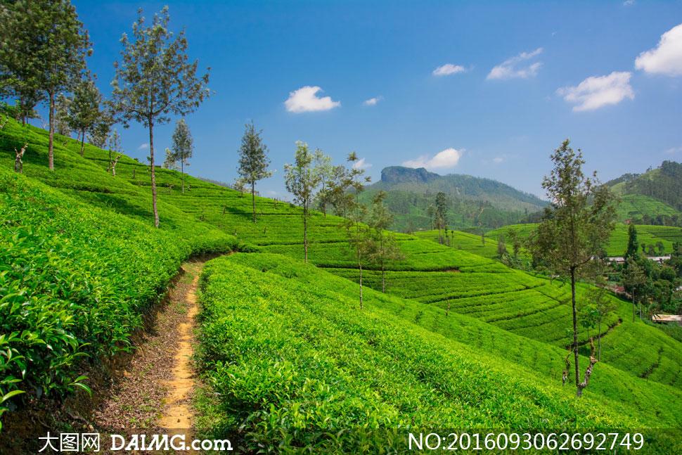 高清摄影大图图片素材自然风景风光小树树木茶叶茶园茶叶园种植园山坡