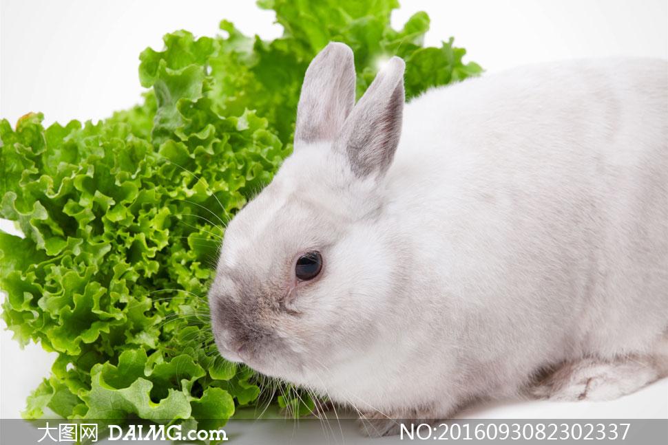 关 键 词: 高清摄影大图图片素材近景特写微距动物兔子小白兔生菜