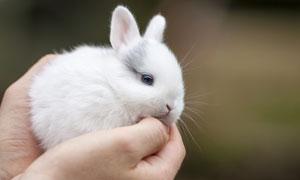 捧在手心里的毛绒绒小白兔高清图片
