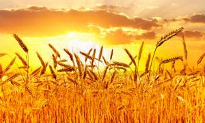 秋季成熟的麦田夕阳美景摄影图片