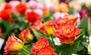 绿叶红花花卉植物特写摄影高清图片