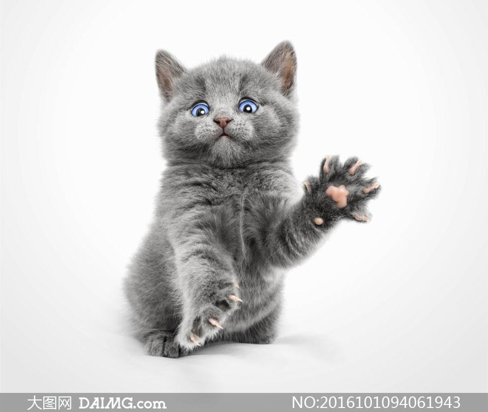 关 键 词: 高清摄影图片大图素材动物猫咪小猫可爱萌宠宠物灰色灰猫