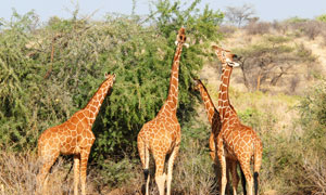 伸长了脖子吃树叶的长颈鹿高清图片