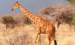 在草原上四处逛着觅食的长颈鹿图片