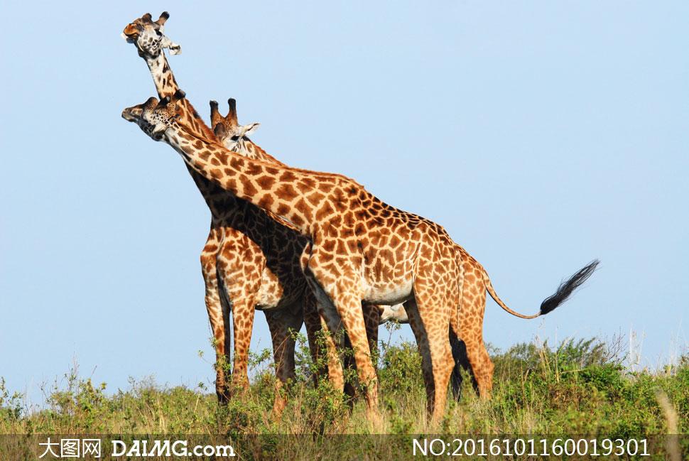 站在小树丛中的三只长颈鹿高清图片