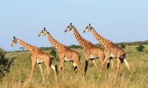 一起朝着目标方向走去的长颈鹿图片
