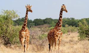 两只长颈鹿与其身后的树丛高清图片
