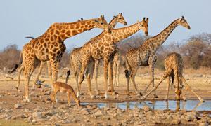 在水塘边喝水的长颈鹿摄影高清图片