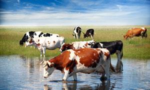 蓝天白云草地与在喝水的牛高清图片