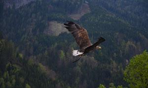 翱翔于山间树林的老鹰摄影高清图片