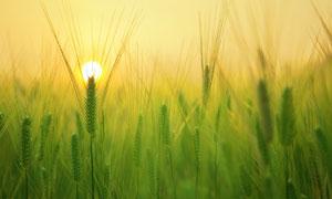 迎来日出曙光的小麦田摄影高清图片
