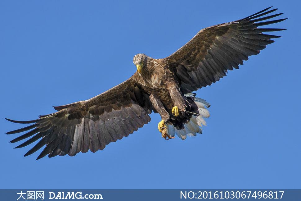 展翅翱翔于蓝天上的鹰摄影高清图片