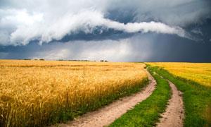 小路与地里成熟的小麦摄影高清图片