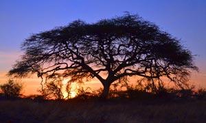 外景夕阳下的大树摄影图片