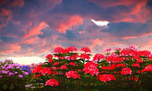 天空云彩与红色的花卉植物高清图片