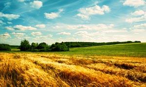 美丽的麦田丰收季摄影图片