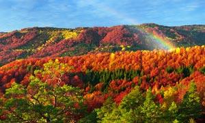 秋季漫山红枫美景摄影图片