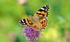 花朵上的蝴蝶微距特写摄影高清图片