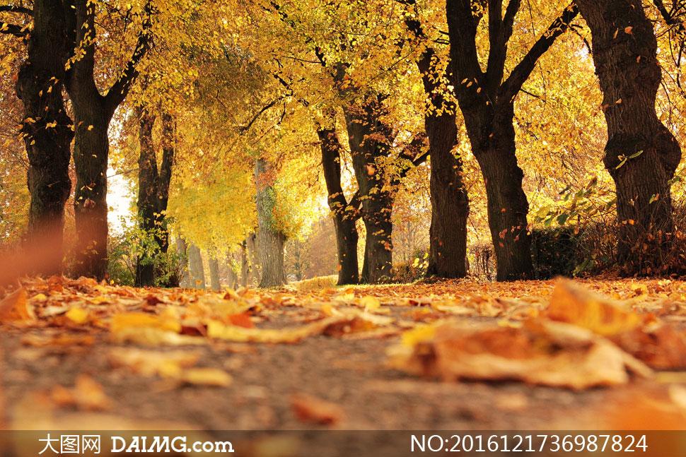 高清大图图片素材摄影近景特写微距大树树木叶子树叶秋天秋季落叶道路