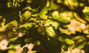 已结出果实的树木特写摄影高清图片