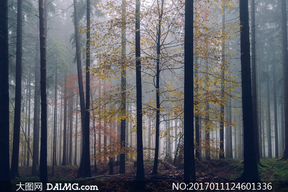 在秋冬早晨起雾的树林摄影高清图片