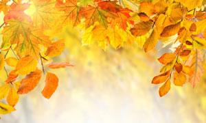 秋天泛黄树叶特写微距摄影高清图片