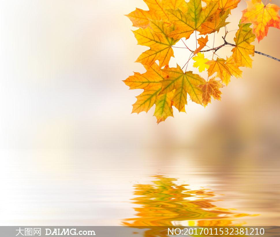 泛黄的梧桐树枝与水面倒影高清图片