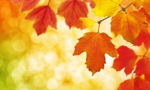 散景与秋天红色梧桐叶摄影高清图片