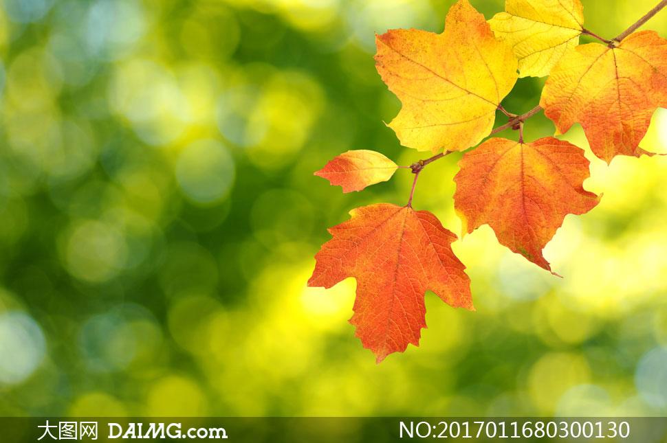 图片素材摄影近景特写微距树叶叶子秋天秋季黄叶红叶朦胧模糊梦幻光斑