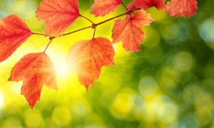 树枝上的红叶树叶逆光摄影高清图片