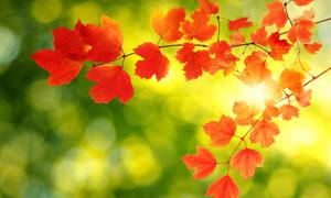 树枝上的红色树叶微距摄影高清图片