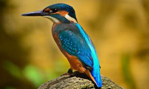 蓝色羽毛翠鸟近景特写摄影高清图片