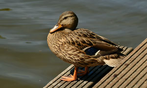 在河边休息的鸭子特写摄影高清图片