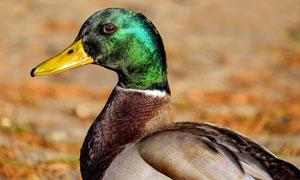 注视着某处的鸭子特写摄影高清图片