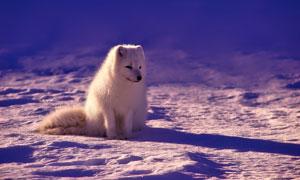 雪地上坐着的一只狐狸摄影高清图片