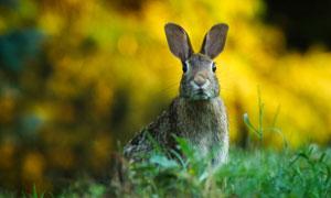 在竖着耳朵的机警兔子摄影高清图片