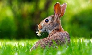 嘴里叼着一朵花的野兔摄影高清图片