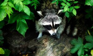 准备出去觅食的小浣熊摄影高清图片
