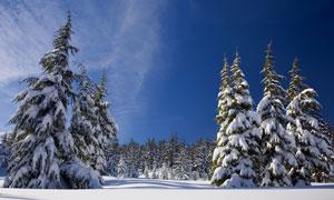 挂着厚厚积雪的针叶林摄影高清图片