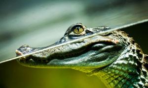 在水下准备蓄势待发的鳄鱼高清图片