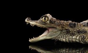 正张着血盆大口的鳄鱼摄影高清图片