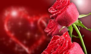 挂着晶莹水珠的玫瑰花摄影高清图片